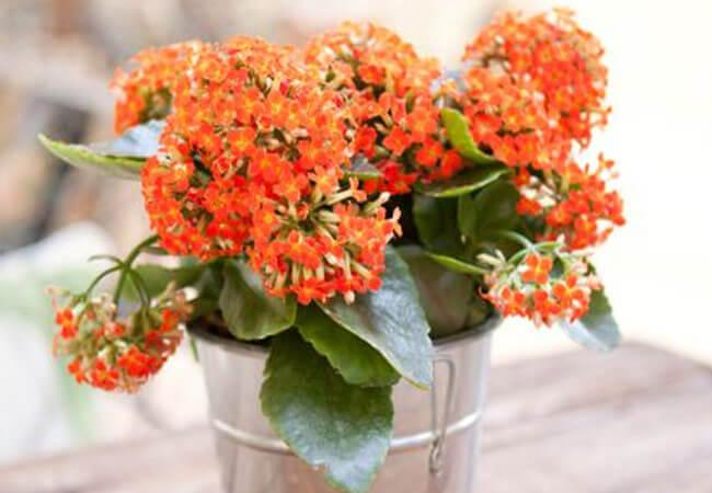 Как пересаживается каланхоэ если оно цветет