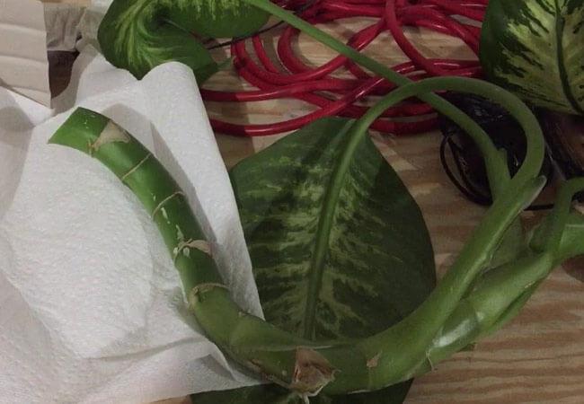 Как срезать черенки и размножать диффенбахию