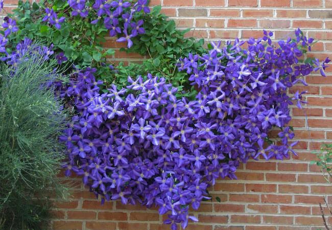 Как посадить клематисы на открытом участке