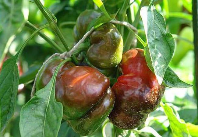 Причины появления кладоспориоза перца