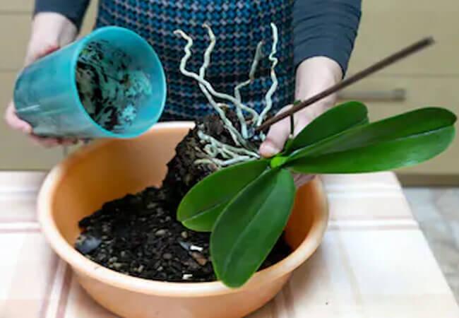 Список подходящих дней для пересадки орхидеи