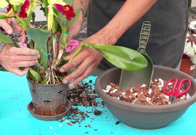 Благоприятные для пересадки орхидеи в 2019 году