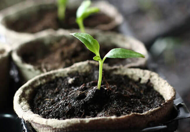 Как посадить перец на рассаду в торфяных горшочках