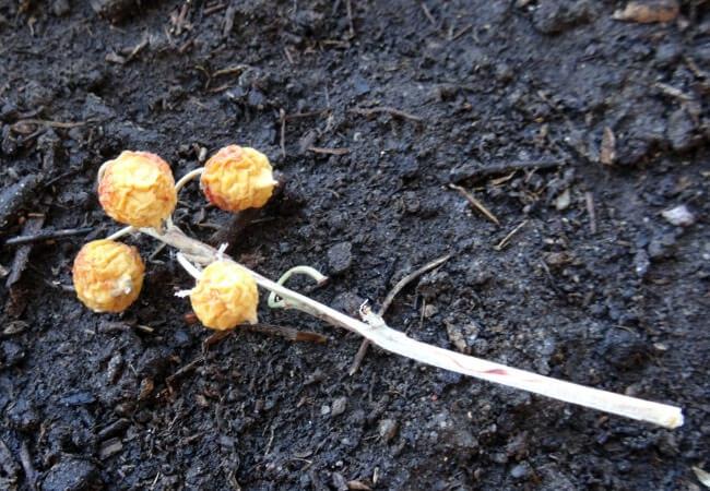 Семена ландыша фото