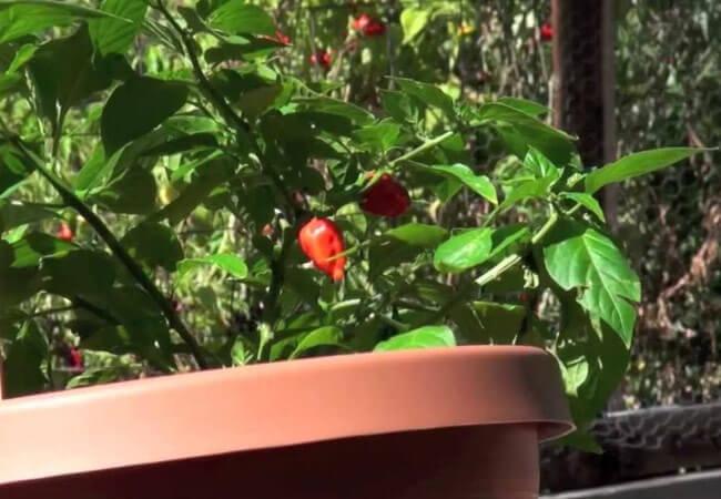 Почему перец огонек сбрасывает листья