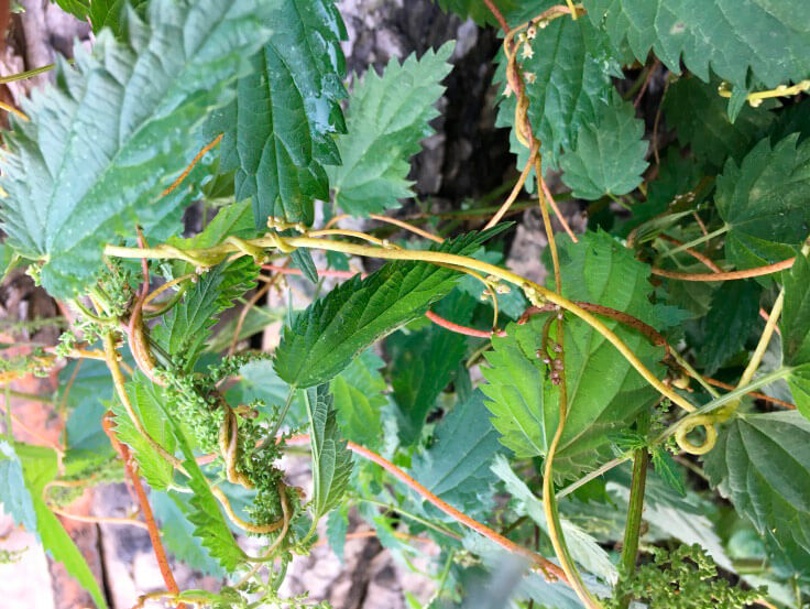 Растение повилики (Cuscuta sp.)