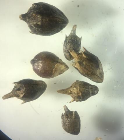 Амброзия полыннолистная (Ambrosia artemisiifolia L.)