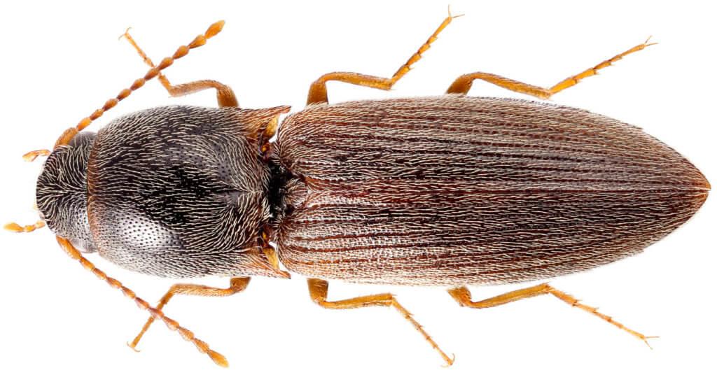 Щелкун посевной (Agriotes sputator)