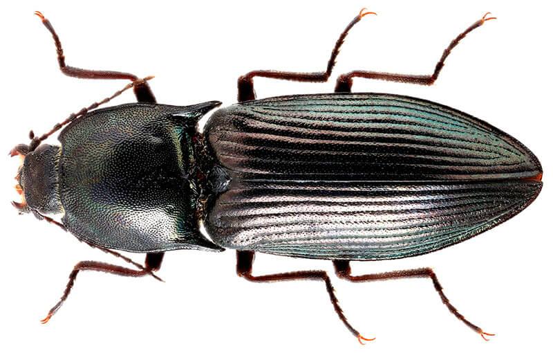 Блестящий щелкун (Selatosomus aeneus)