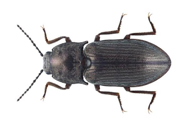 Широкий щелкун (Selatosomus latus)
