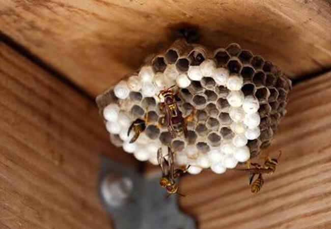 Как прогнать пчел и ос с участка