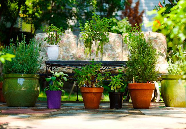 Растения, которые содержат фитонциды