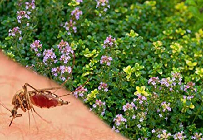 Какие растения отпугивают вредоносных насекомых