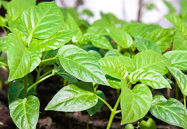 Белые листья у перца