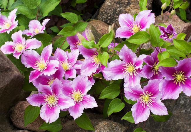 чем подкормить клематис весной для обильного цветениячем подкормить клематис весной для обильного цветения