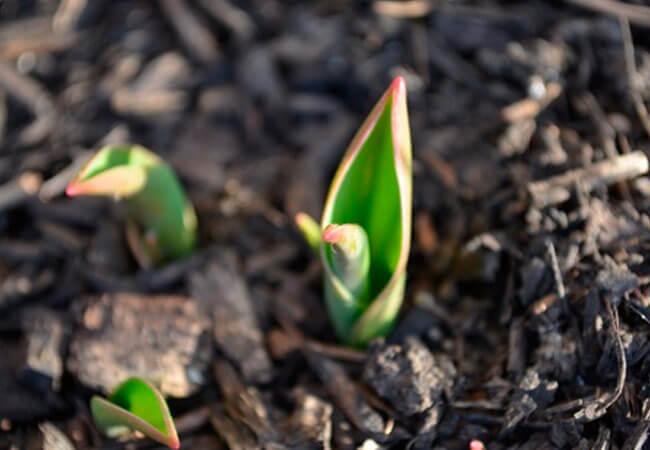 Зимостойкие разновидности тюльпанов