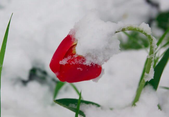 Как оживить тюльпаны после морозов
