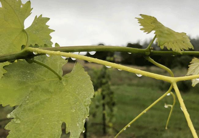 Полезные свойства зеленых виноградных листьев