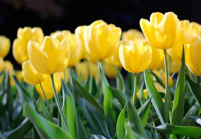 Cроки посадки тюльпанов по лунному календарю
