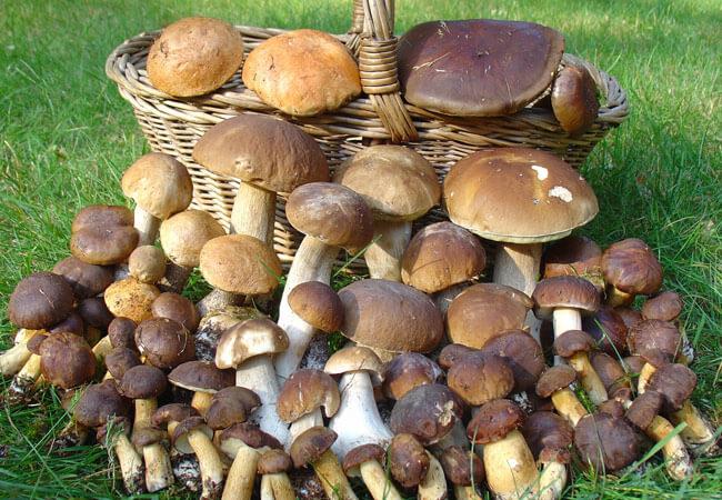 Лунный календарь в сборе грибов