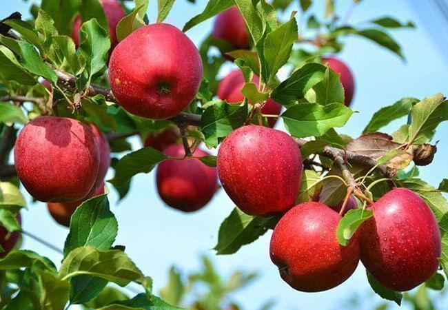 Когда нужно собирать урожай яблок