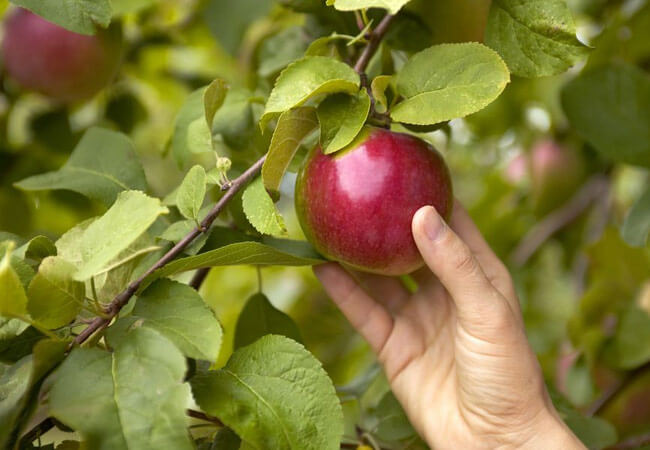 Лунный календарь сбора яблок на 2019 год