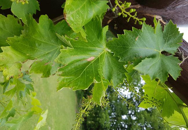 Весенняя обработка винограда железным купоросом
