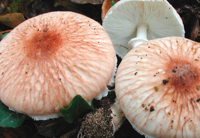 Белонавозник Пилата Leucoagaricus pilatianus