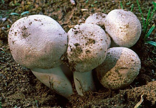 Белошампиньон длиннокорневой Leucoagaricus barssii