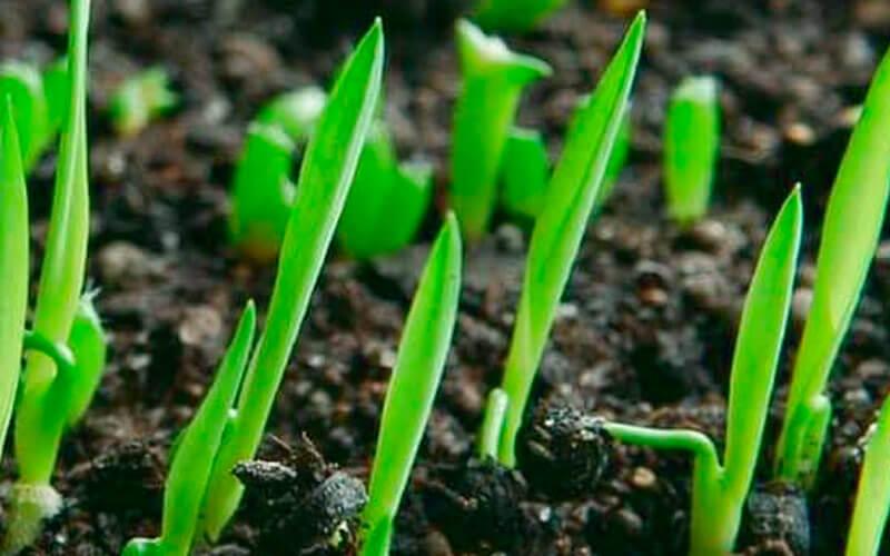 Размножение юкки садовой