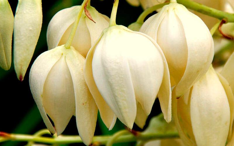 цветение юкки садовой
