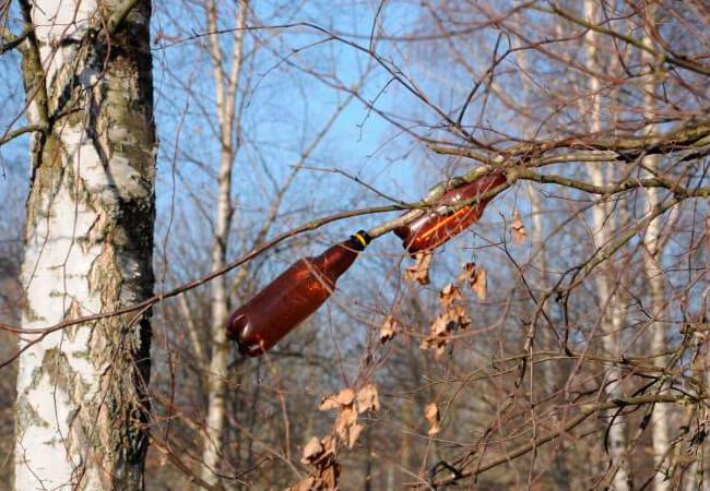 Как правильно собирать сок березы