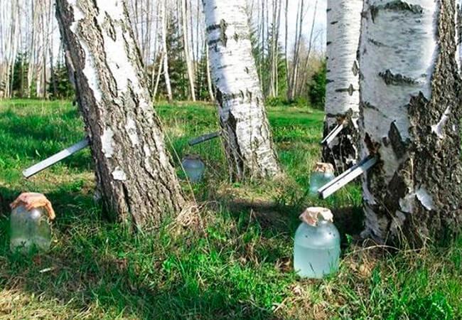 Как собирать сок березы