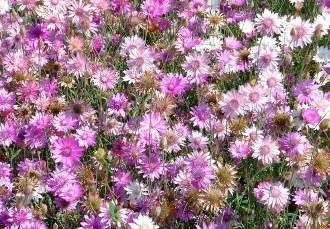 Ксерантемум (сухоцветник)