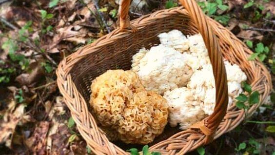Коралловый гриб: описание, съедобные разновидности