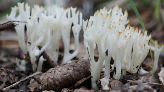 Как выглядят грибы оленьи рожки - виды, особенности, приготовление