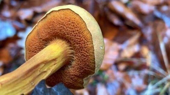 Перечный гриб – описание, отличительные признаки