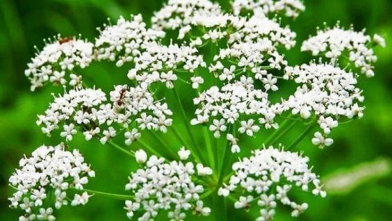 Трава анис или бедренец анисовый - описание, полезные свойства