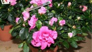 Цветок азалия, уход в домашних условиях, описание, размножение и возможные болезни