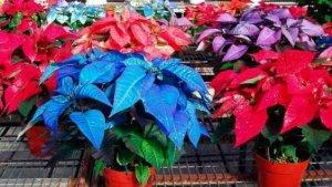 Цветок Рождественская звезда: как ухаживать, чтобы цвел