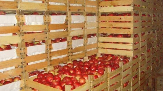 Как зимой хранить яблок