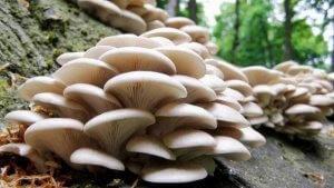 Уникальные грибы вешенки