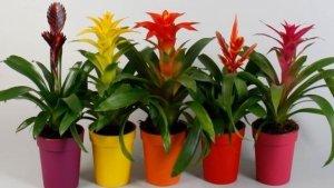 Гусмания растение как ухаживать