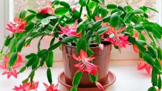 декабрист цветок, уход в домашних условиях
