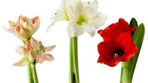гиппеаструм: фото, выращивание и уход