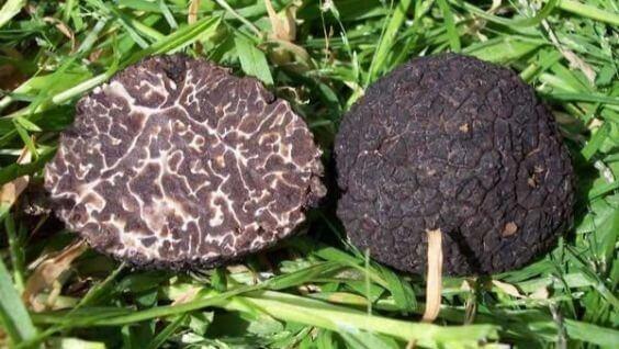 трюфель грибы
