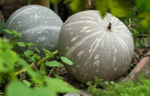 Как выращивать тыкву в открытом грунте
