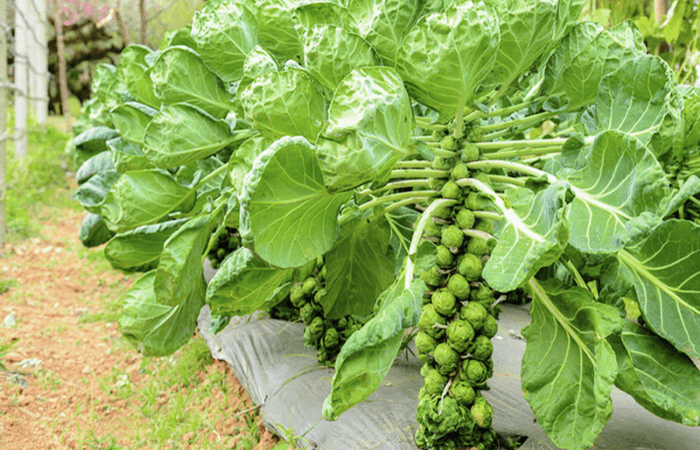 Как растет брюссельская капуста, фото