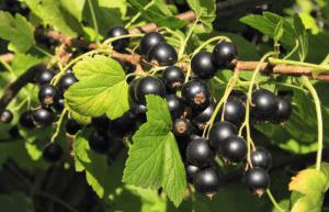 Сорта смородины черной крупноплодной сладкой