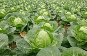 Как вырастить хорошую капусту в открытом грунте